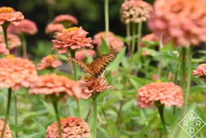 Gulf Fritillary on 'Oklahoma Salmon' zinnias. I think I'll grow these with Zinderella Peach zinnias next year. Wouldn't that be fun?