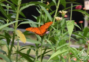 Brilliant Gulf Fritillary butterfly resting on milkweed.