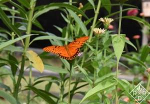Brilliant Gulf Fritillary butterfly resting on milkweed.
