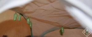 Monarch chrysalides in the screened habitat