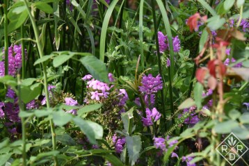 Physostegia virginiana, obedient plant, is not obedient. I think some gardener was having a joke on all of us.