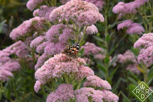Painted Lady butterfly on stonecrop sedum. I don't which variety. It's shorter than 'Autumn Joy' and not as bright as 'Neon.' Who knows?