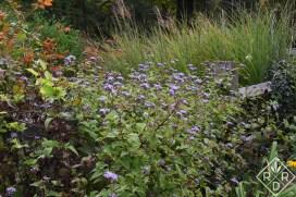 Eupatorium coelestinum, mistflower or wild ageratum is another thug, but doesn't it look grand against Panicum virgatum, Virginia switchgrass?