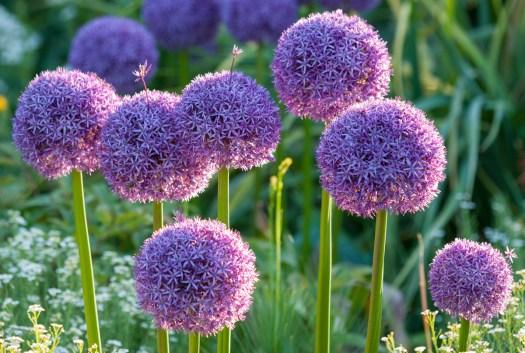 Allium 'Globemaster' brings drama to formal and informal borders alike.