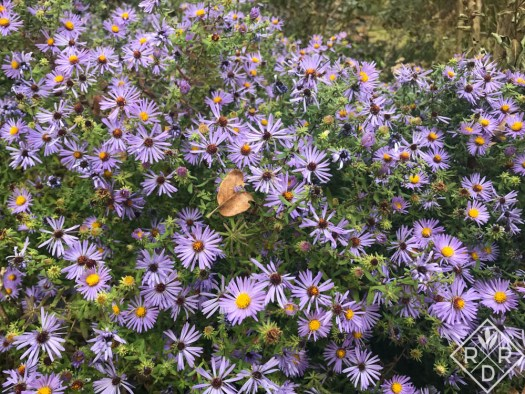 Aster oblongifolius (syn. Symphyotrichum oblongifolium) 'Raydon's Favorite' still blooming in my garden after the first freeze.