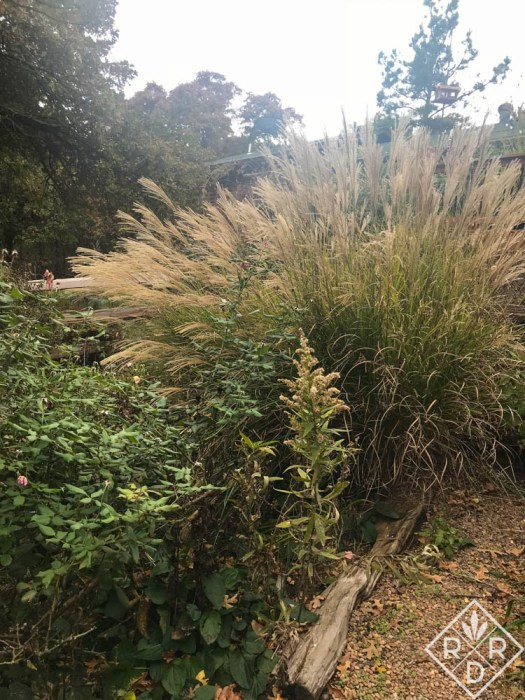 After the first freeze, good old Miscanthus sinensis, maiden grass in my garden.. It is next to Blush Knockout rose.