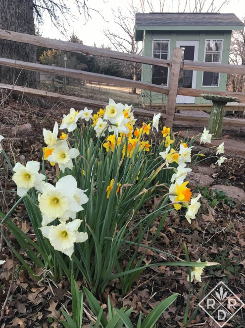 Daffodils, narcissus and the folly--garden shed.