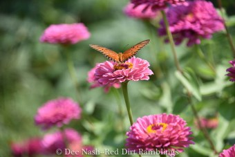 Garden temptation. Gulf Fritillary on zinnia. Garden for the butterflies and the bees, and don't forget the tiny hoverflies.