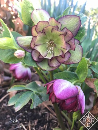 Purple double hellebore now turned green from pollination.