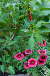 Peppers and Calibrochoa Superbells® Blackberry Punch™, a trial plant I really loved from Proven Winners.
