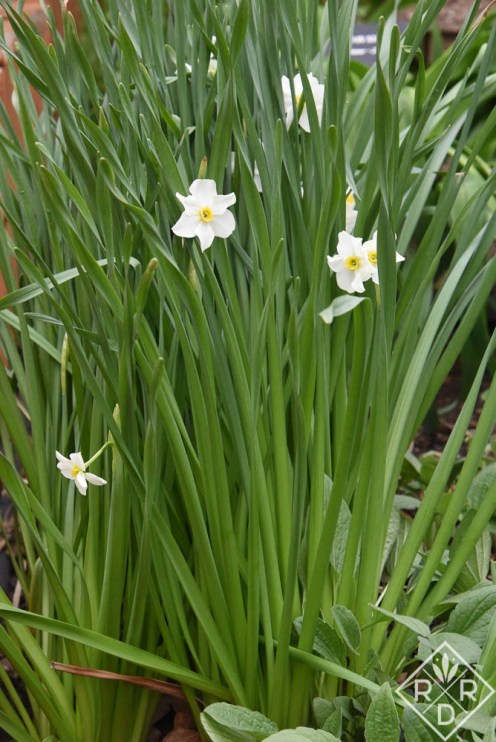 Beautiful, tiny white narcissus. I don't know the variety.