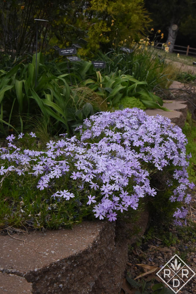 Phlox subulata, creeping phlox, is different from P. divaricata, woodland phlox, but both are quite beautiful in the spring garden.