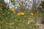 Single-flowering Japanese kerria, [em] Kerria japonica.[/em]