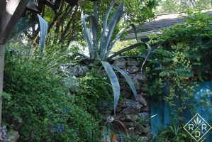 Agaves along a wall in the back garden.