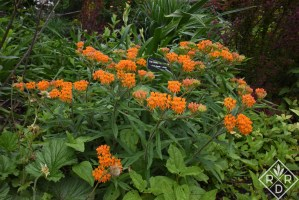 Asclepias tuberosa, butterfly weed, is one of many native milkweeds I grow on my property for Monarch butterflies. It's not their favorite, but their caterpillars do still eat it.