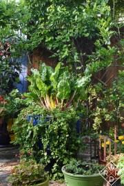 Huge Swiss chard in Lucinda's kitchen garden.