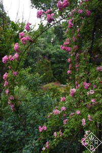 Rosa 'Peggy Martin' frames a view of the back garden.