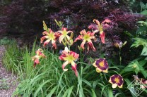 Hemerocallis 'Buddy's Wild and Wonderful' on the left and 'Black Sheep' on the right are two great daylilies I grow. 'Buddy's Black Jack' is in there too, but I think it finished blooming.