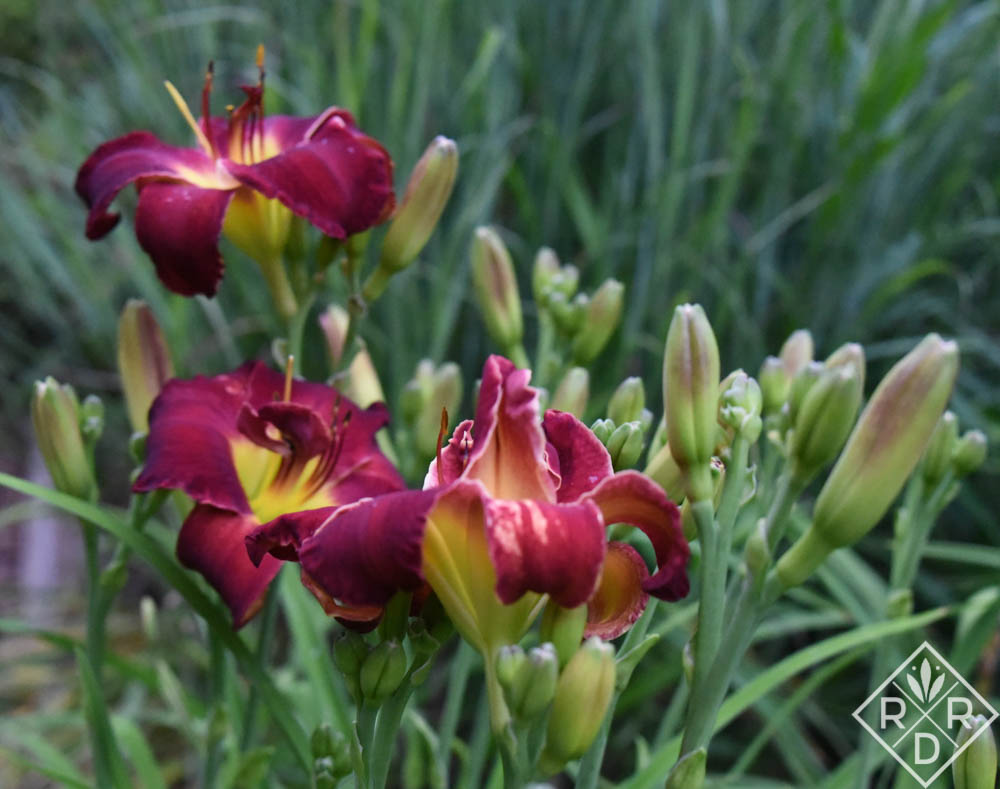 Hemerocallis 'Night Embers' a double that is finally starting to double in this heart.