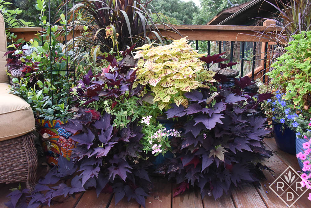 'Cathedral Windows' coleus and black sweet potato vine. Although I bought the sweet potato vine untagged, I believe it to be Sweet Caroline Bewitched After Midnight™ because of the leaf shape.