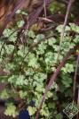 Nutmeg scented pelargonium (geranium) has such nice blue foliage that seems impervious to heat.