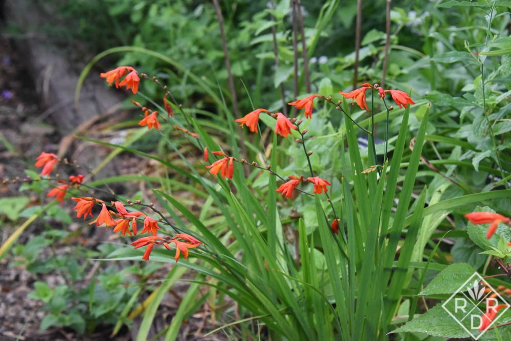 Orange crocosmia in partial shade.