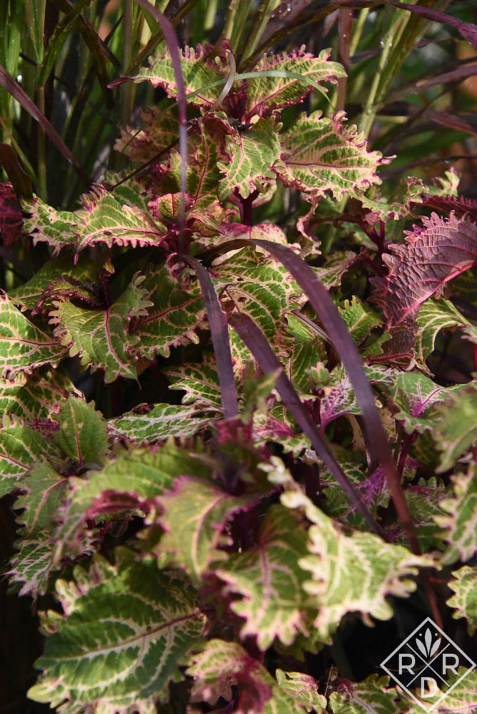 Plectranthus scutellarioides 'Peter's Wonder' is another favorite coleus I buy or overwinter year-after-year. Although it has very brittle stems, it's also such a unique color combination.