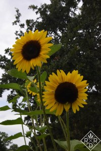 Large, beautiful sunflowers in my cutting garden. I look forward to these every year.