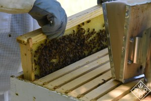 Nectar honey frames are usually on the outside with brood frames in the middle. This isn't always true, but nothing in beekeeping is always true.