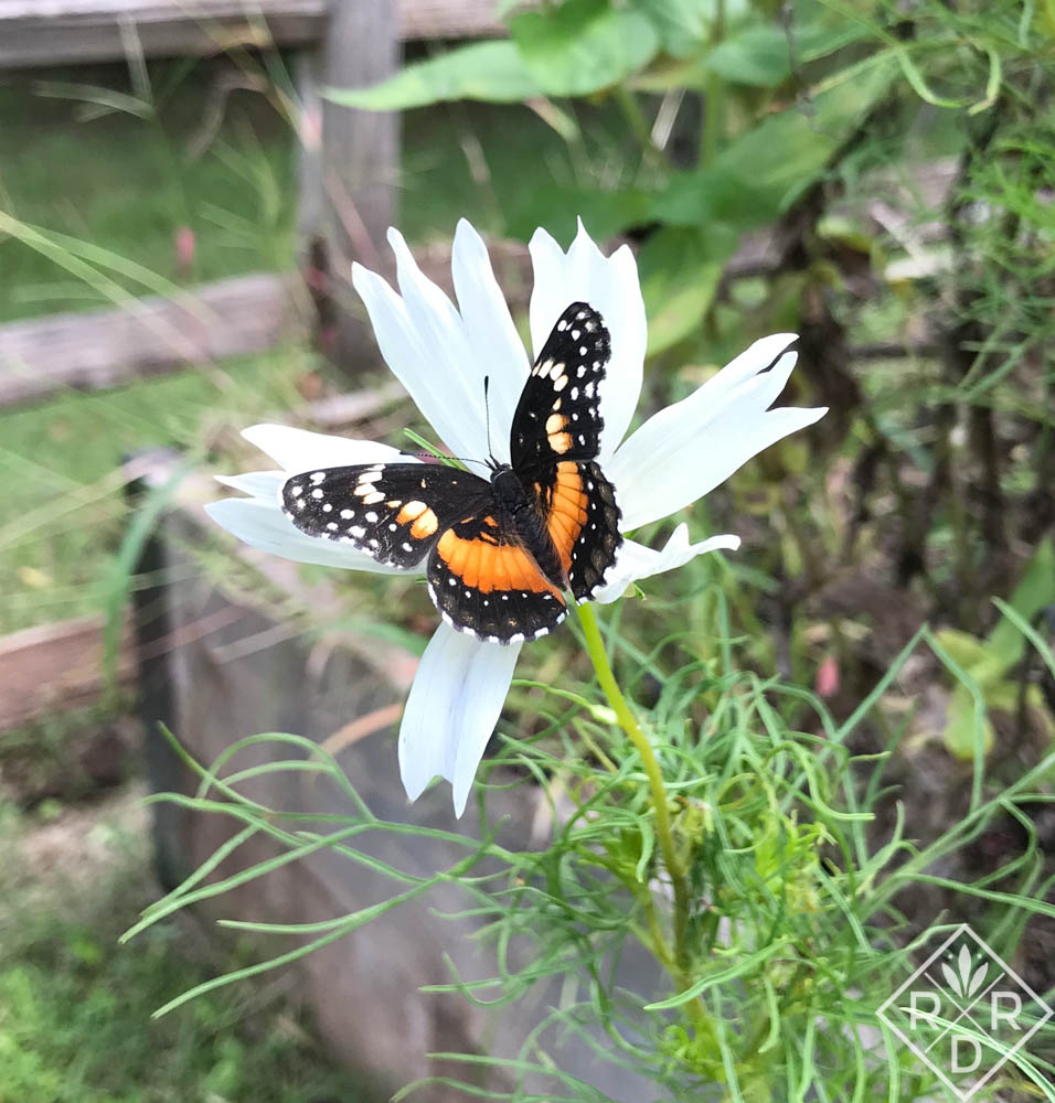 Bordered Patch, Chlosyne lacinia, butterfly on Cosmos 'Cupcake White.'