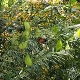 Monarch hanging out on Gomphocarpus physocarpus, hairy balls
