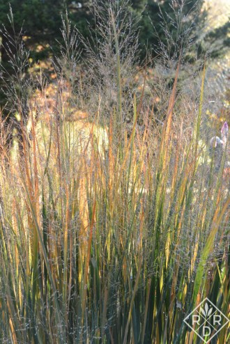 Panicum virgatum 'Northwind' up close. See all those shades of yellow?