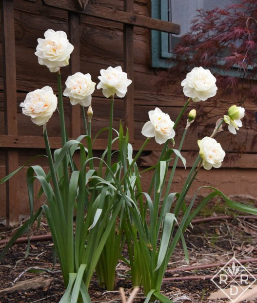 Double daffodils from John Scheepers bulbs.