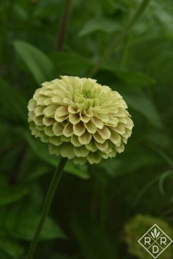 Zinnia Queenie Lime