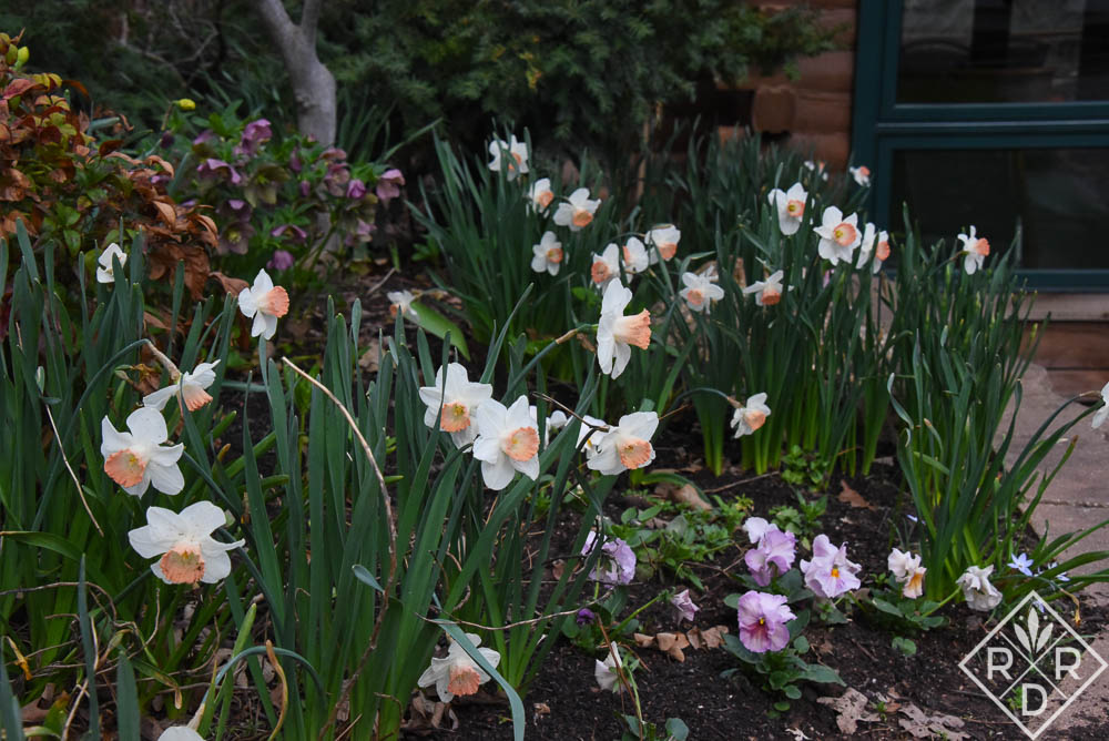 Pink-cupped daffodils really have kind of a peachy cup. They start out more pinkish, but then turn peachy over time.