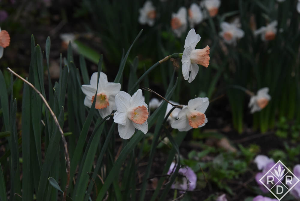 A closeup of my pink-cupped daffodils growing in the front border. I love them.