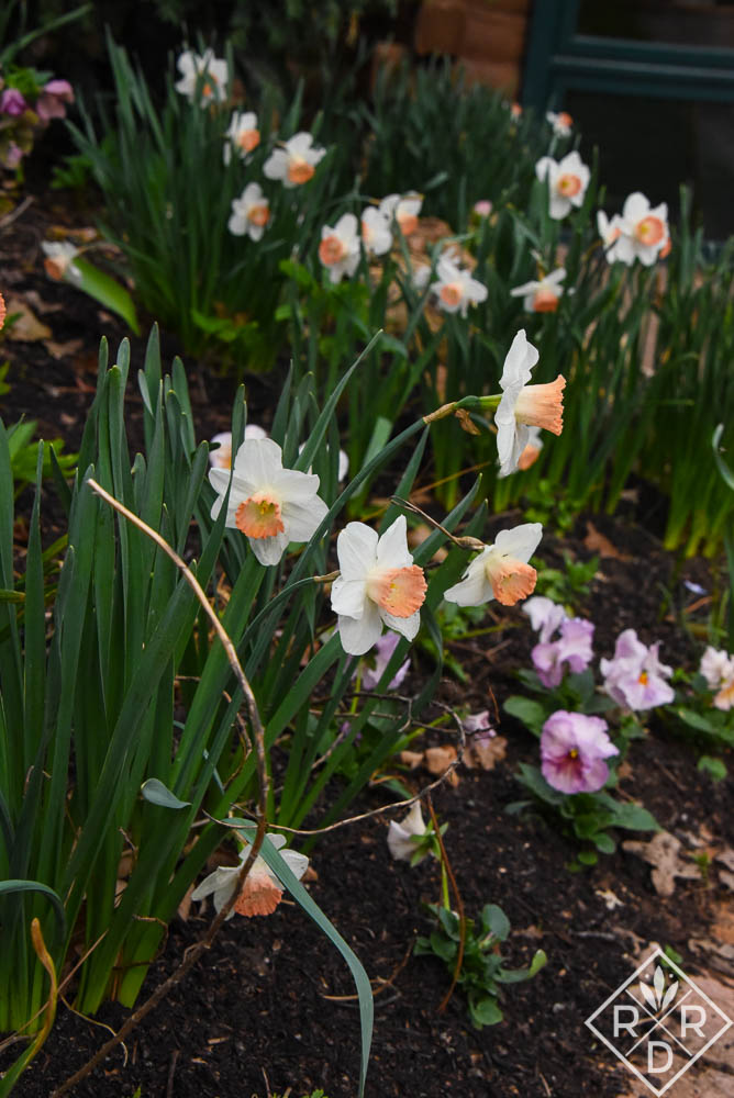 Daffodils with pink cups