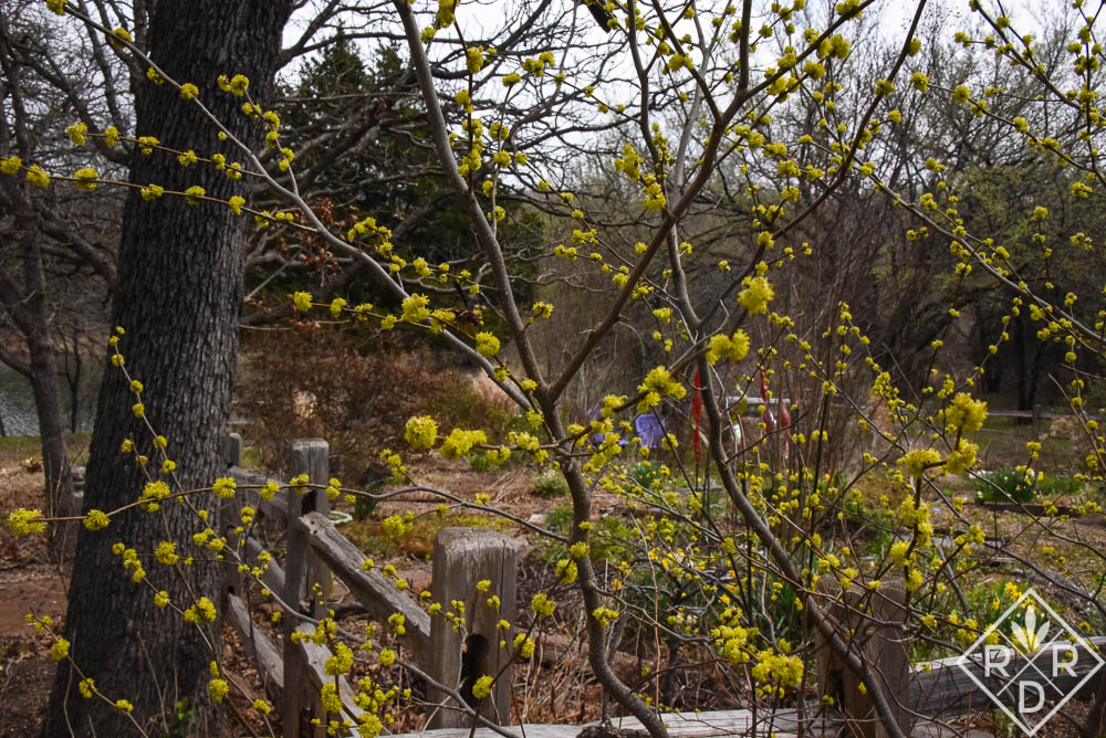 Lindera benzoin, spicebush, in all its glory in the back garden.