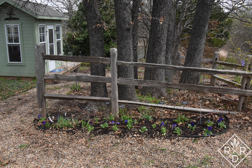 New purple pansies with my little she shed. Things are starting to look better, but we have a long way to go and many more leaves to remove.