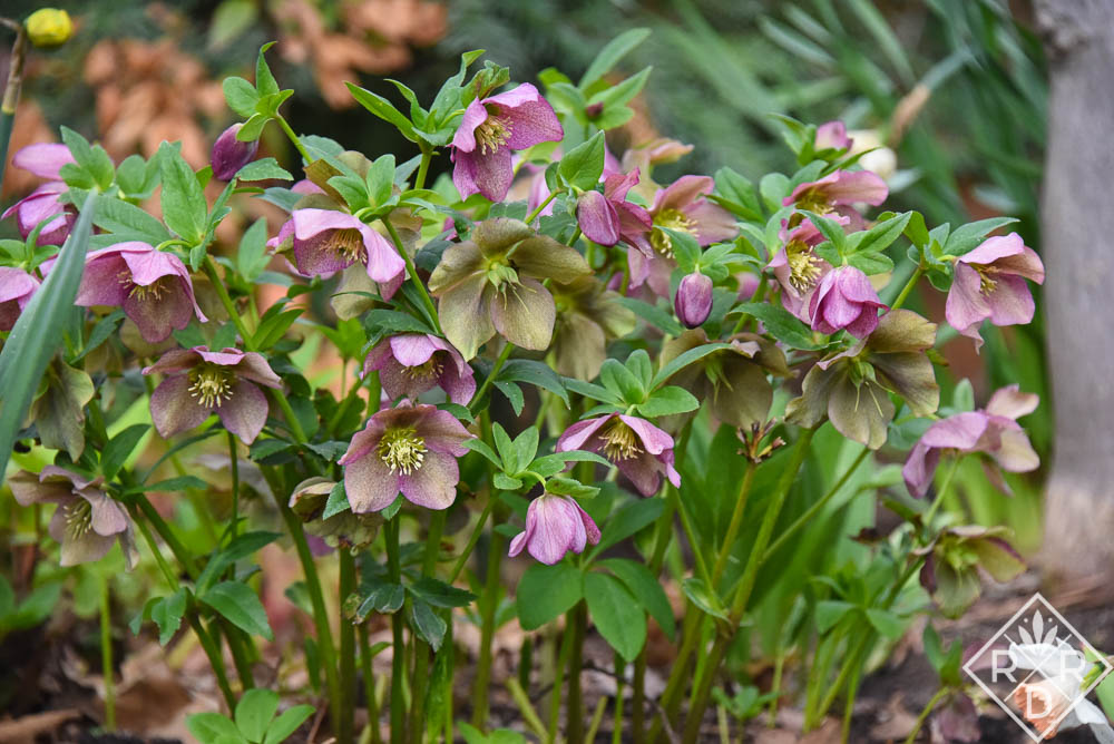 One of my original hellebores, probably Blue or Red Lady. It's finally quite large.