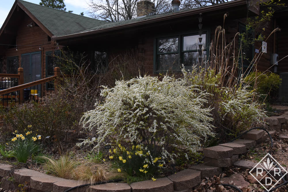 Two 'Ogon' spirea blooming earlier this year. Brennan and I dug up the zebra grass. It grew too large for the space.