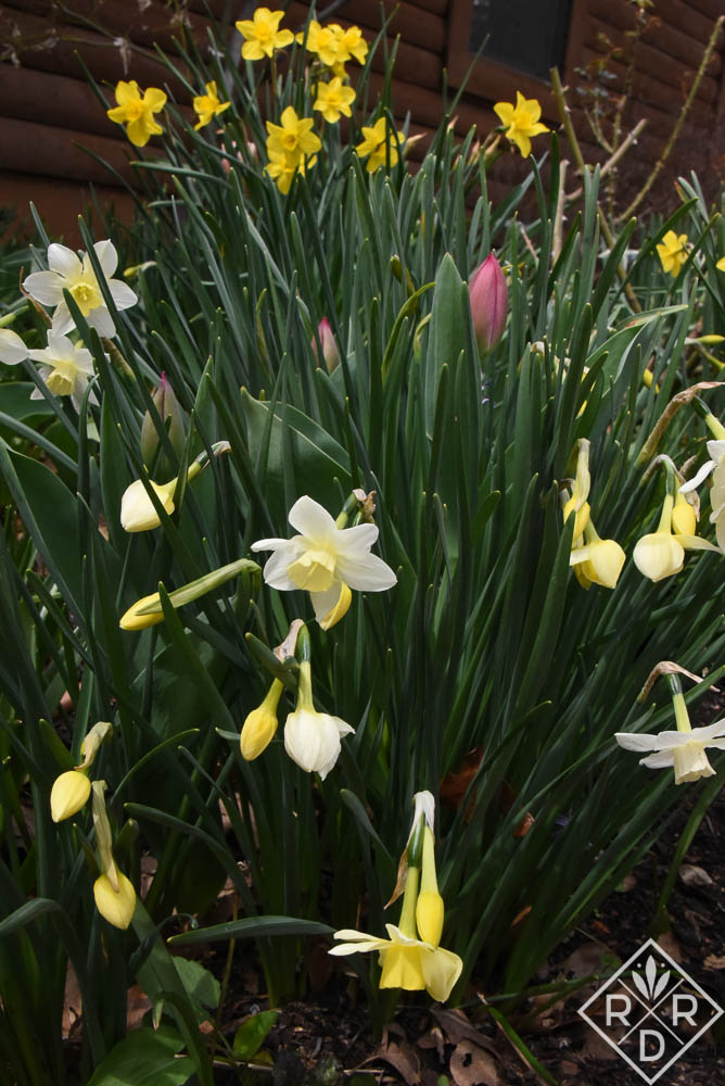Yellow and white daffodils. I gave up trying to remember all their names.