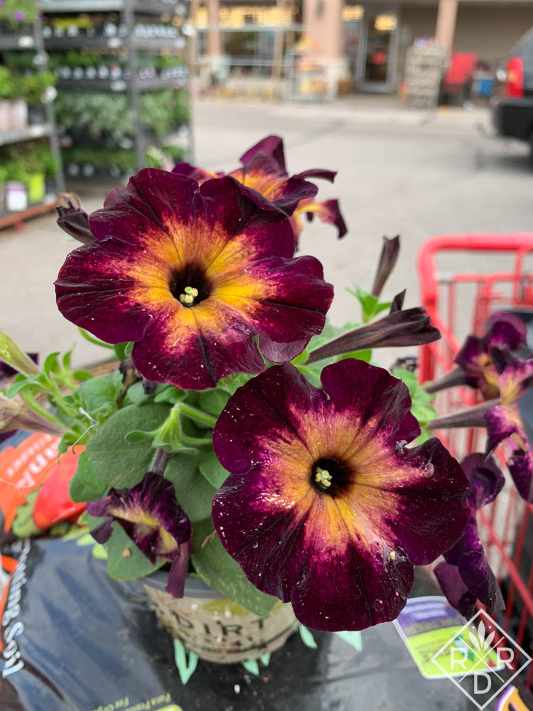 I have fallen crazy in love with Crazytunia Moonstruck, a Proven Winners selection.