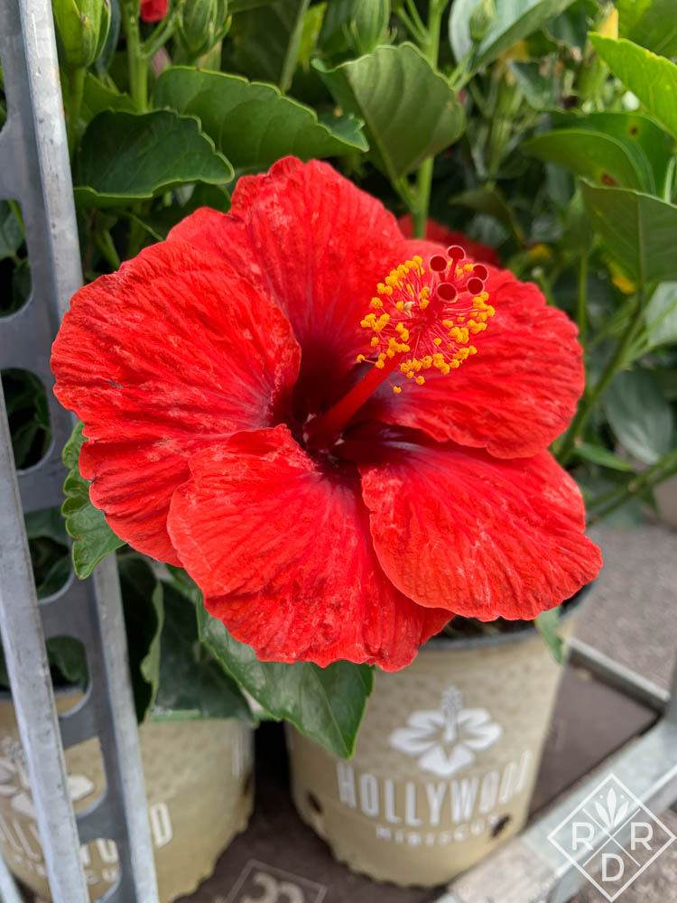 Hollywood Hibiscus Hot Shot. I haven't bought this one yet because Berry Plants sent me several other varieties to trial. I might go back and get it though. That color!