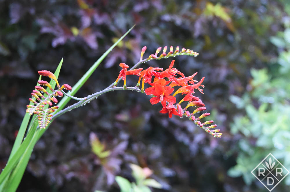 Crocosmia 'Lucifer.' I only have one bulb that has survived all these years.