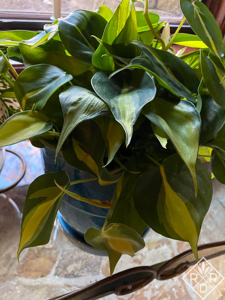Philodendron 'Brasil' is a heart-shaped plant