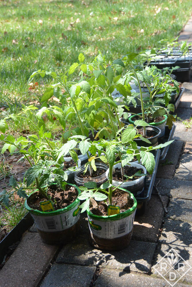Grow your own transplants from seed.