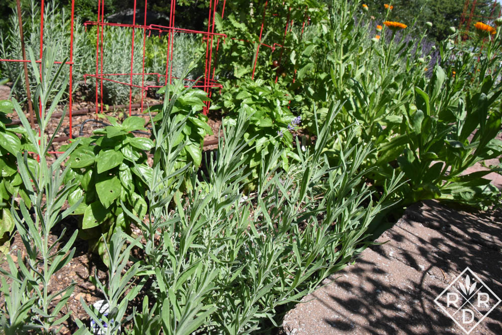 Grow lavender in Oklahoma.