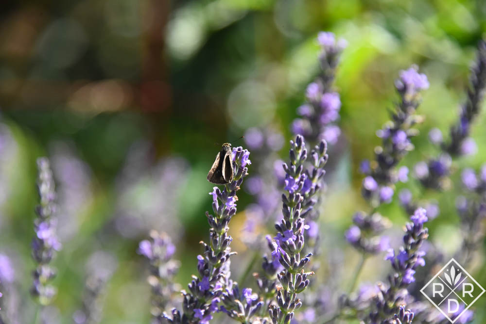Grow Lavender In Oklahoma Red Dirt Ramblings