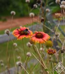 Pollinators are why I grow meadow flowers. Garden Bloggers' Bloom Day. Bumblebee on gaillardia. This is why I grow meadow flowers.